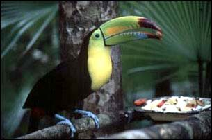 ein Tukan im  Belize Zoo, Belize