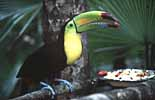 Ein Tukan beim Fressen im Zoo von Belize