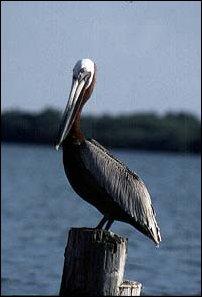 ein Pelikan in Belize
