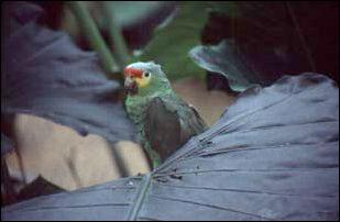 ein Papagei im Parque-Museo La Venta, Mexiko