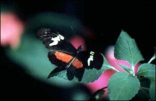 ein Schmetterlin bei Panajachel, Guatemala