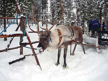 Rudoph das Rentier bei einer Rentierschlittenfahrt in Lappland