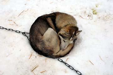 Ein Husky beim Schlafen