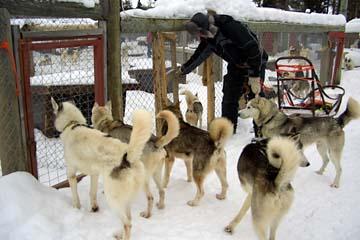 Huskies am Zwinger