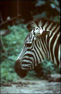 im Singapore Zoo, Singapur