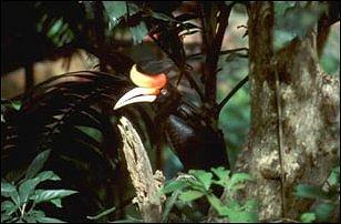 ein Hornbill im Lake Garden, Kuala Lumpur, Malaysia