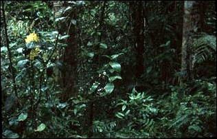 im Jungle der Cameron Highlands, Malaysia
