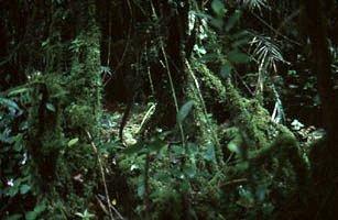 der Nebelwald von Cameron Highlands, Malaysia
