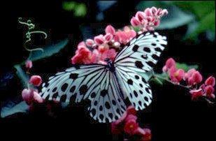 Schmetterling im Singapore Zoo, Singapur