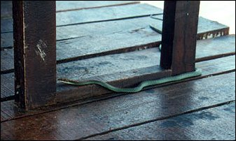 eine Schlange auf dem Bootssteg in Malalysia