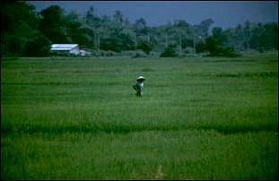 ein Reisfeld auf Langkawi, Malaysia