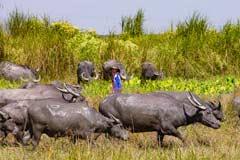 Eine Wasserbüffelherde wird in der Nähe eines Sumpfgebiets weiter getrieben