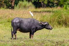 Wasserbüffel mit einem Reiher auf dem Rücken in der Nähe von Bago in Myanmar