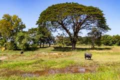 Ein Wasserbüffel an einem Wasserloch bei Bago in Myanmar