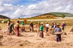 Bauern dreschen den Reis auf einem Feld im Osten von Myanmar