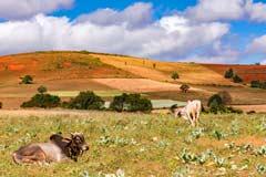 Kühe auf einer Weide vor einer farbenfrohen Landschaft in Myanmar