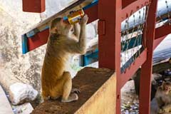 Ein frecher Affe am Aufstieg zum Pagode am Mt. Popa in Myanmar