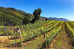 Weinberge im Ayetharyar Wineyard bei Taunggyi in Myanmar