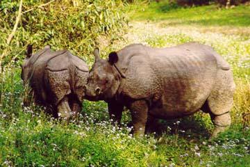 Rhinozeros und Junges im Chitwan Nationalpark, Nepal