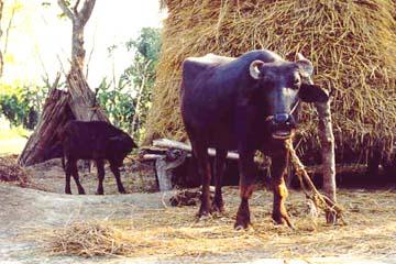 Tharu-Dorf am Rand des Dschungels, Chitwan National Park, Nepal