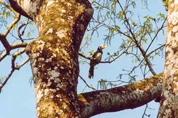 Tukan im Chitwan National Park, Nepal