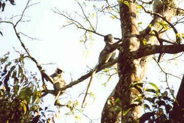 Affen im Chitwan National Park, Nepal
