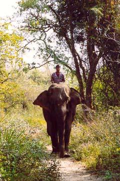 Arbeitselefant im Chitwan National Park, Nepal