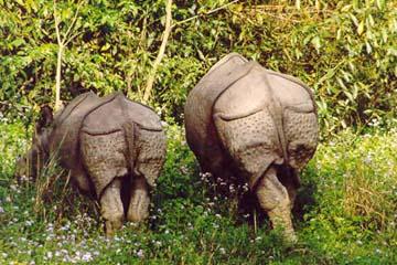 Rhinozeros und Junges im Chitwan National Park, Nepal