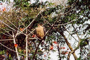 Adler im Chitwan National Park, Nepal