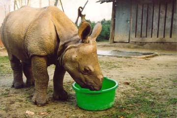 Baby Rhino im Chitwan National Park, Nepal