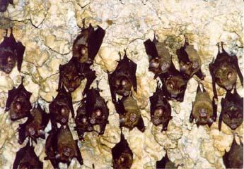 Fledermäuse in der Bat Cave in Pokhara, Annapurna, Nepal