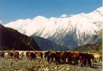 Pferde im Tal nach Marpha, Annapurna, Nepal