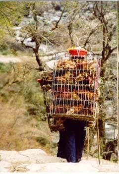 Hühnertransport in Kalopani, Annapurna, Nepal