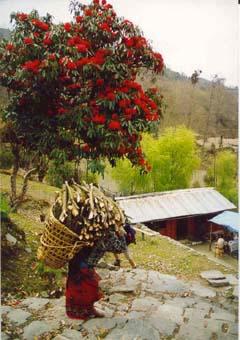 Rhododendron-Wald, Annapurna, Nepal