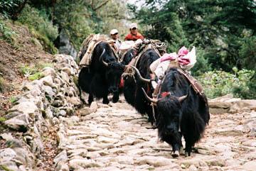 Ausgewachsene Yaks als Lasttiere bei Khumjung, Everest-Region, Nepal