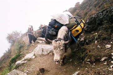 Schwer beladenes Yak bei Namche Bazar, Everest-Region, Nepal