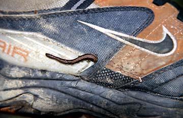 Ein Blugegel auf dem Trekking Schuh