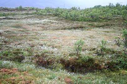 Wollgraslandschaft bei Sortland, Vesterälen, Norwegen
