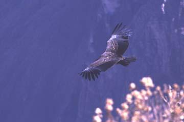 ein Kondor im Vorbeiflug am Mirador del Condor, Colca Canyon, Peru