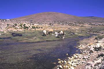 eine Weide auf einer Hochebene von ca. 4.500m, Peru