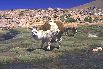 ein interessiertes Alpaka auf dem Weg zum Colca Canyon, Peru