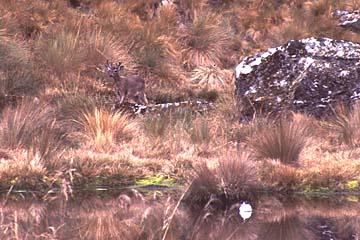 ein Wild in der Nähe eines kleinen Sees, Inka Trail, Peru