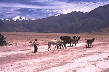 ein Junge mit seinem Vieh nach der Salineras de Maras, Peru
