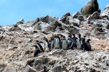 die Islas Ballestas mit den vielen Arten von Vögeln und anderen Tieren