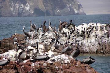 Pelikane gibt es auch auf den Islas Ballestas in Peru