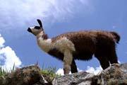 ein Lama in den Ruinen von Machu Picchu in Peru