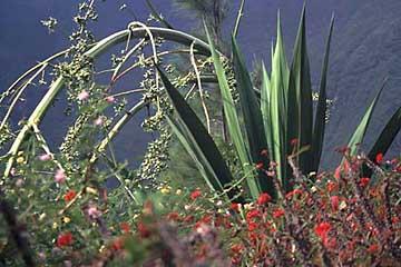 der Blütenstand einer Agave im Cirque de Salazie, Réunion