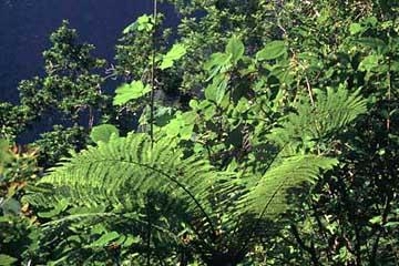 dichtes Grün im Gegenlicht am Grand Etang, Réunion