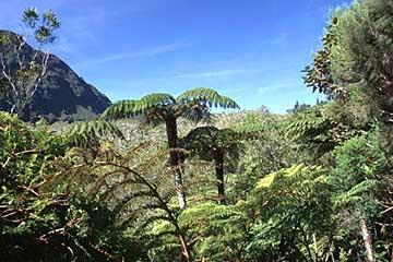 märchenhafte Farnbäume im Belouve-Wald, Réunion