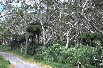 der Schotterweg beim Reine des Tamarins, Belouve Wald, Réunion